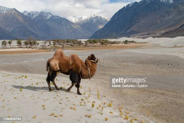 bactrian camel in nubra valley - marek stefunko stock pictures, royalty-free photos & images
