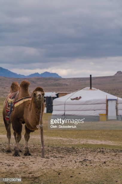 日没時のゴビ砂漠のバクトリアラクダ - 中央アジア ストックフォトと画像
