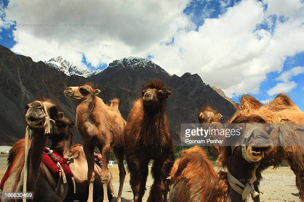 Bactrian Camels also known Double-Humped Camels of Cold Desert, are found in Central Asia, mainly in Gobi Desert, Parts of China, Mongolia,...