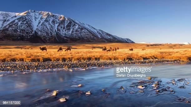 bactrian camels beside a river in altai, siberia, russia. - rusia fotografías e imágenes de stock
