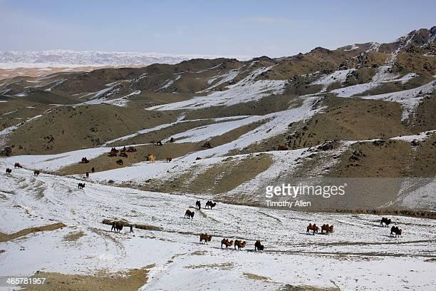 Bactrian camels graze on Gobi Altai Mountains
