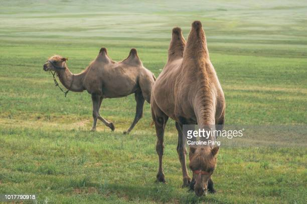 Bactrian camels grazing and roaming in the steppes of central Mongolia.