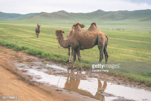 Bactrian Camels grazing and roaming in the steppes of Mongolia.