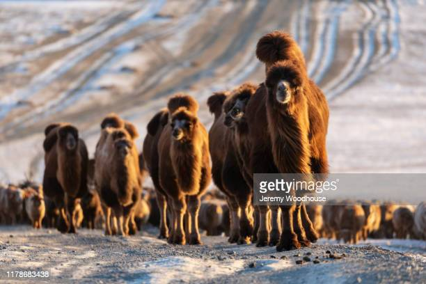 bactrian camels head up a mountain pass at sunrise - jeremy woodhouse stock pictures, royalty-free photos & images
