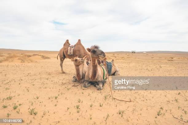 Bactrian camels resting at Gobi desert in Mongolia.