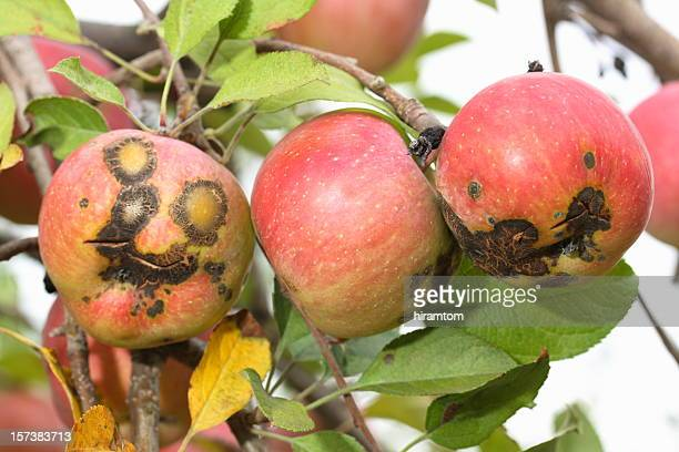 bad apples - rot stock pictures, royalty-free photos & images