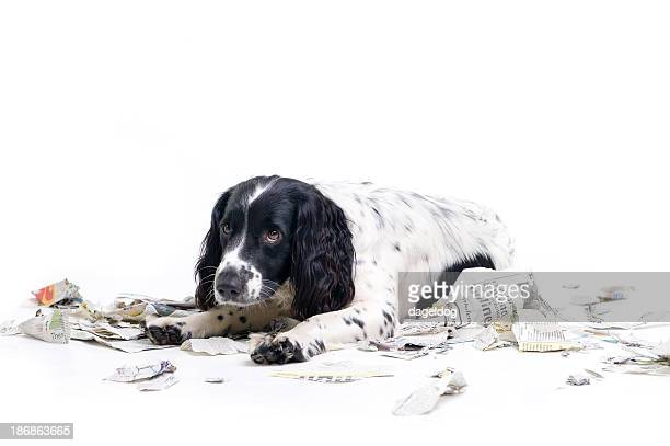 bad dog! - scolding stock photos and pictures