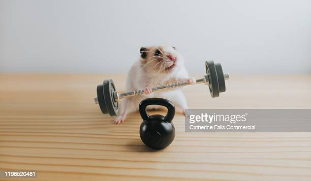 bad form weightlifting hamster - sports training stock pictures, royalty-free photos & images