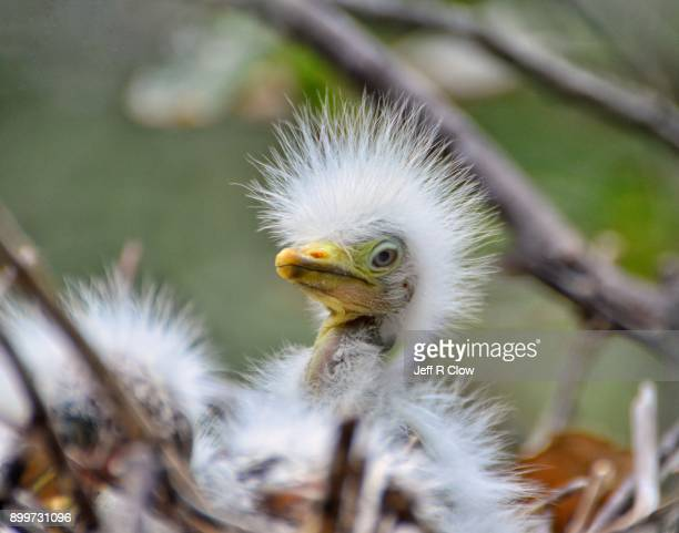 bad hair day at the nest 5 - rookery stock pictures, royalty-free photos & images