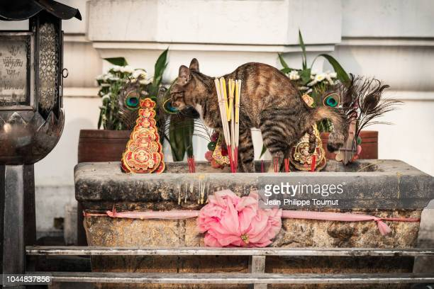 bad mannered clownish cat defecating in a buddhist temple, bangkok, thailand - litter box stock photos and pictures