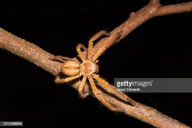 - huntsman spider stock pictures, royalty-free photos & images