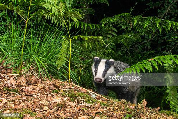Badger cub emerging through bracken in oak woods