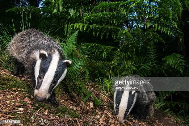 Badger cubs foraging in oak woods