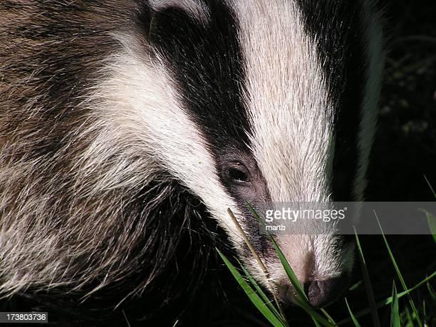Badger face