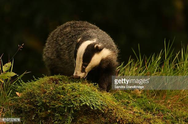 Badger (Meles meles) Hunting for food in a Mossy mound.