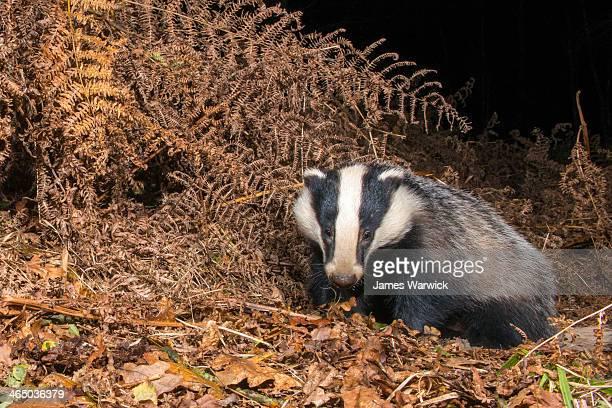 Badger in autumnal oak woods