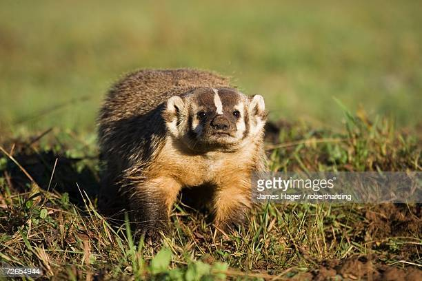 badger (taxidea taxus), in captivity, minnesota wildlife connection, sandstone, minnesota, united states of america, north america - american badger stock photos and pictures