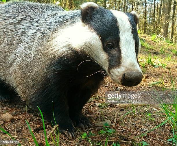 Badger In Forest