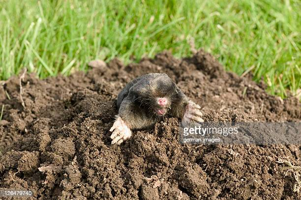 badger in its den - mole animal stock photos and pictures
