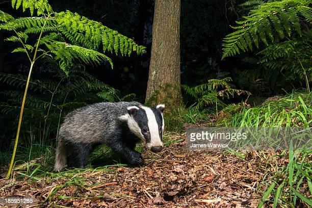 Badger in oak woods