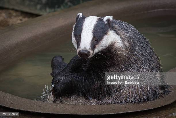 A Badger in the Bathtub