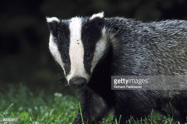 badger meles meles foraging on lawn mid-wales garden,uk