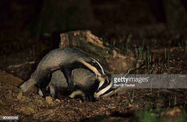 badger: meles meles  two juveniles fighting  half a year old