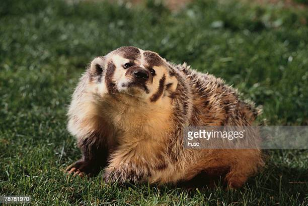 badger - american badger stock photos and pictures