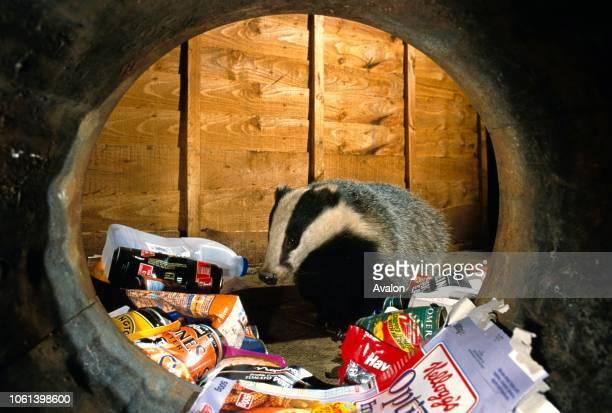Badger raiding dustbin