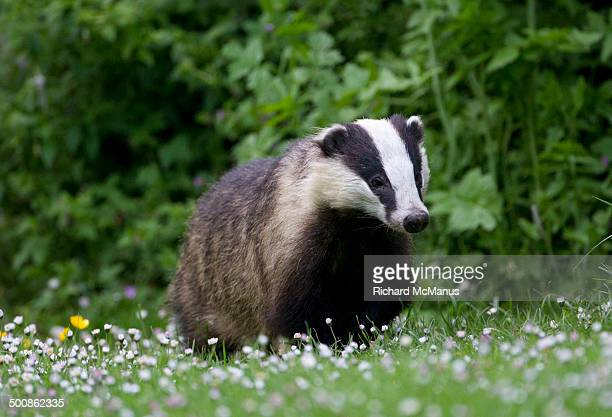 Badger walking through daisies.