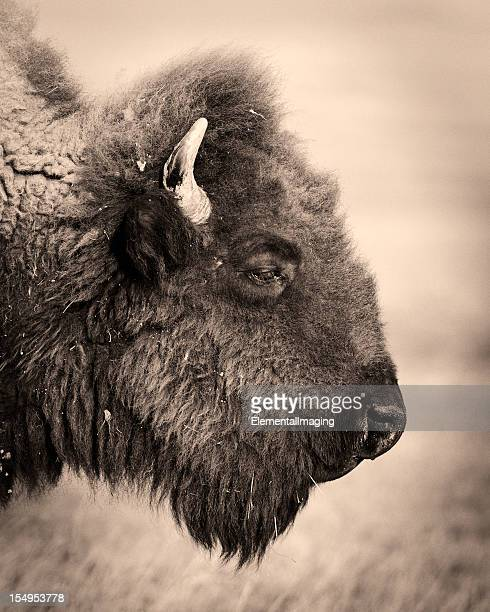 Parc National des Badlands Portrait d'un Bison ou de Buffalo