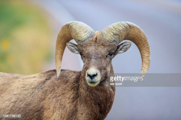 badlands ram - file:bighorn,_grand_canyon.jpg stock pictures, royalty-free photos & images