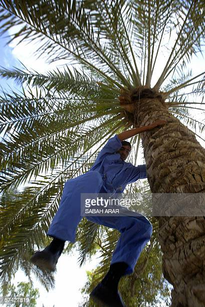 An Iraqi man jumps down from a palm tree along the Tigris River in Baghdad, 26 April 2006. US Secretary of State Condoleezza Rice and Defense...