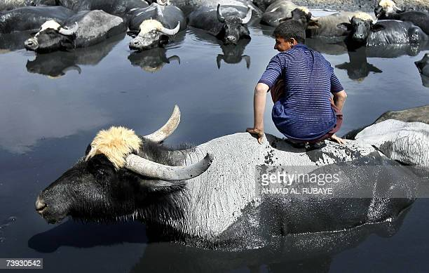 An Iraqi youth sits on the back of a buffalo as it coolsoff in the waters of Diyala River east of Baghdad 18 April 2007 A mix of impoverished farmers...