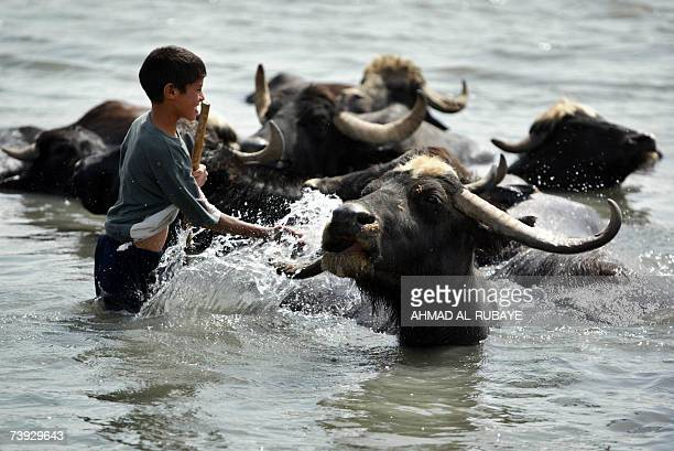 An Iraqi youth splashes water on a buffalo as it cools off in the waters of Diyala river east of Baghdad 18 April 2006 A mix of impoverished farmers...