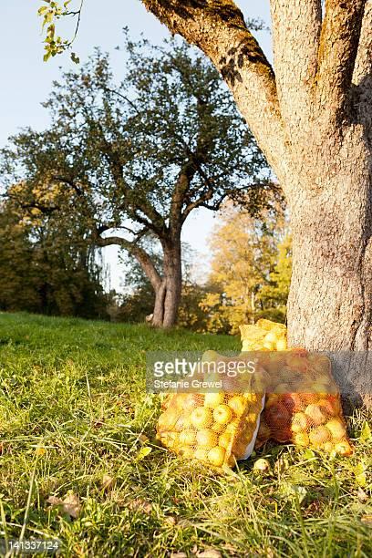 Bags of apples in rural field