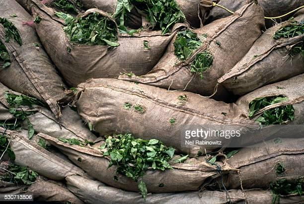 Bags of Harvested Tea Leaves