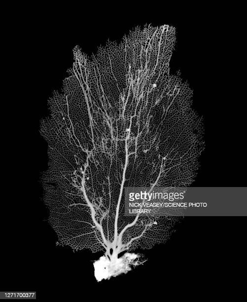 bahama sea fan, x-ray - human interest stock pictures, royalty-free photos & images