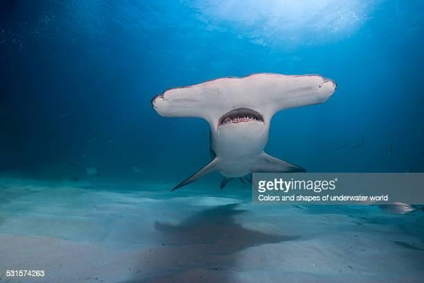 bahamas hammer - hammerhead shark stock photos and pictures