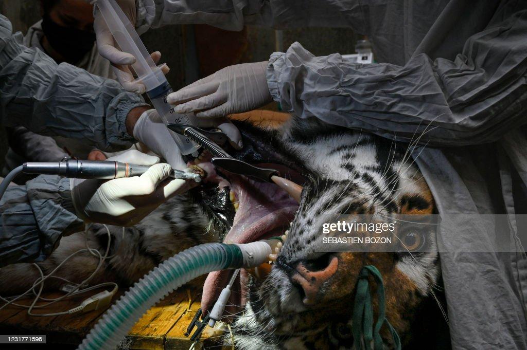 TOPSHOT-FRANCE-ZOO-ANIMAL-TIGER-SURGERY : Foto di attualità