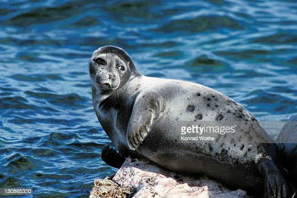 Baikal Seal, Phoca sibirica, Zabaikalsky Nationalpark, Ushkany Islands, Lake Baikal, Russia