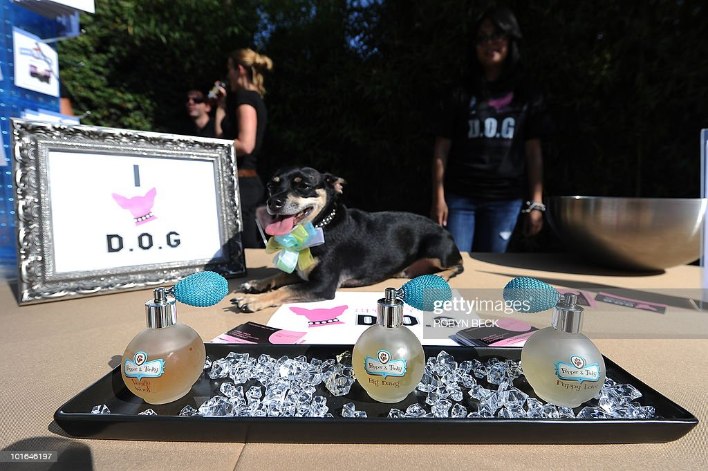 Bailey, a chihuahua daschund mix, poses in front of 'Pepper & Tanky' dog fragrance on display at the Buddha Bark WonderPark luxury wellness suite on June 4, 2010 at Chaz Dean Studio & Zen Garden in Los Angeles. Peper & Tanky is an eau du parfum for canines custom blended in France. The Buddha Bark WonderPark luxury lounge event brings together celebrities and their dogs to introduce natural canine welless lifestyle solutions.