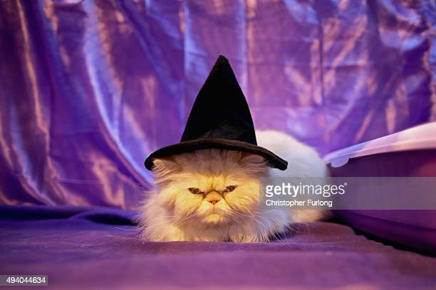 Bailey, a four-year-old Persian Red Colour Point, gets into the halloween theme during the Governing Council of the Cat Fancy's 'Supreme Championship...
