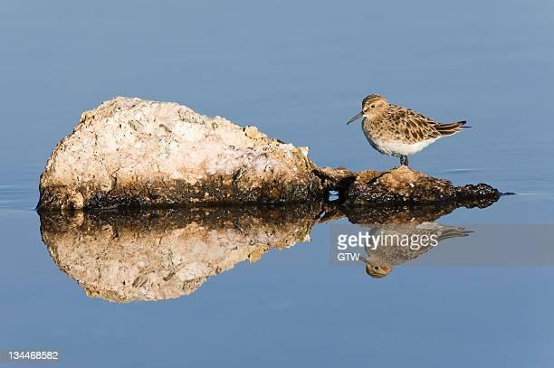 baird's sandpiper (calidris bairdii), laguna de chaxa, atacama desert, antofagasta region, chile, south america - vista lateral stock pictures, royalty-free photos & images