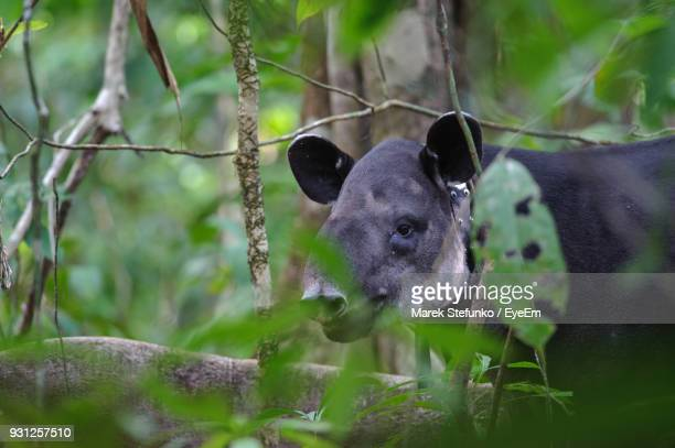 bairds tapir in forest - marek stefunko stock pictures, royalty-free photos & images