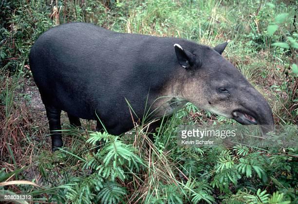 baird's tapir in the brush - parque nacional de santa rosa fotografías e imágenes de stock