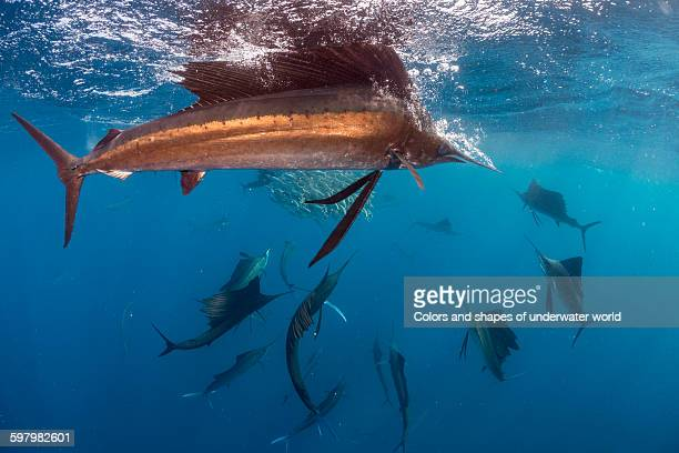 baitball encircled by hungry sailfish - sailfish stock pictures, royalty-free photos & images
