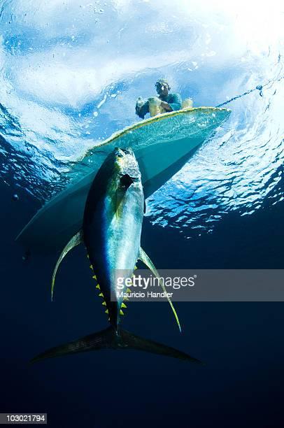 Bajau fisherman landing a 150 lb yellow-fin tuna on a FAD-Fish Aggregation Device.