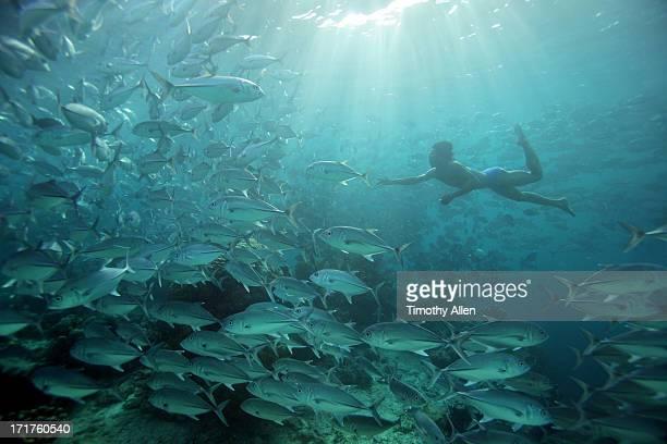 Bajau free diver swimming with Jack fish