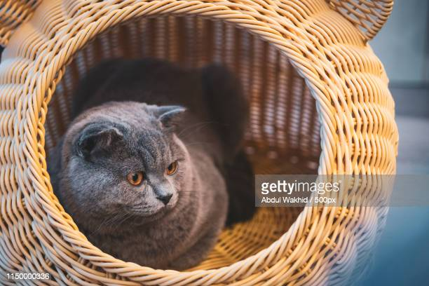 bakuso chan - british shorthair cat stock pictures, royalty-free photos & images